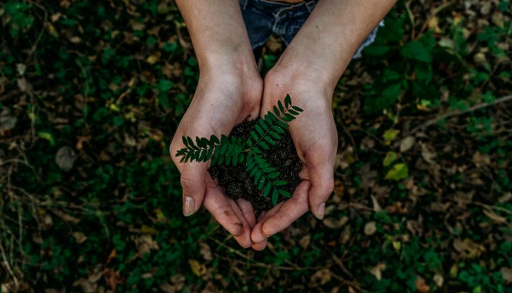 two hands above a soil covered with green leaves holding soil with a small green plant