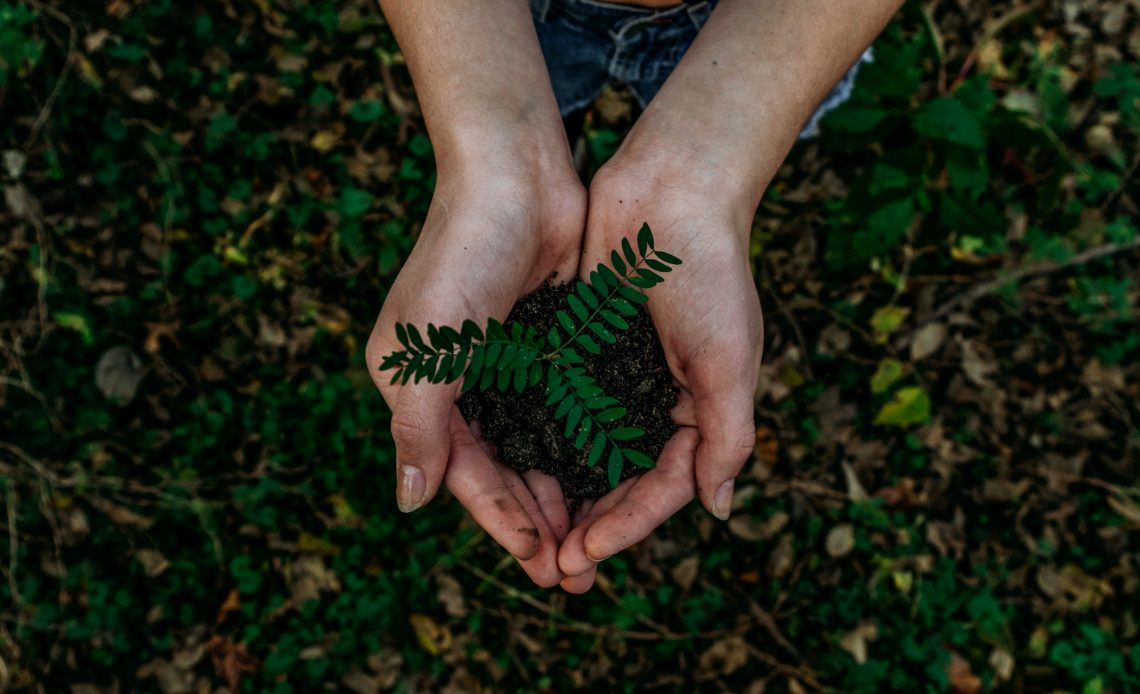 two hands above a soil covered with green leaves holding soil with a small gren plant